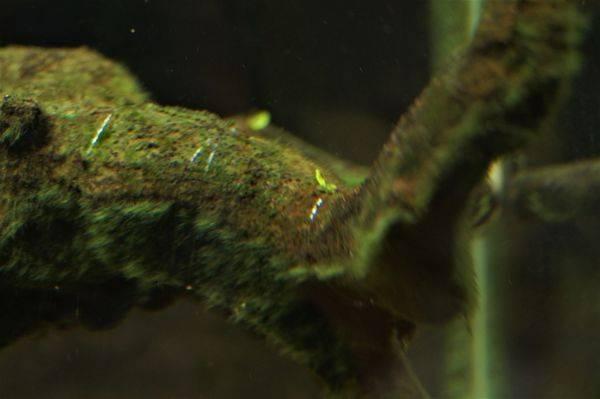 ミクロソリウムを流木に活着